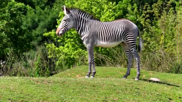 Grvy barátait zebra (Equus lat. grevyi)