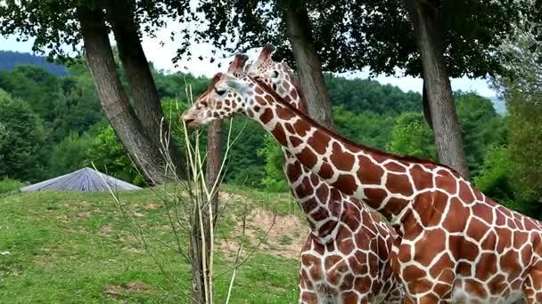 Žirafa síťovaná (Giraffa camelopardalis reticulata lat.)