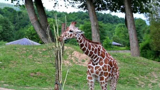 Recés zsiráf (Giraffa camelopardalis reticulata lat.)