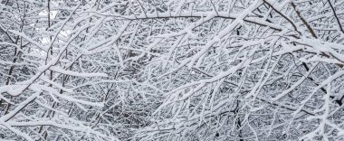 Many thin twigs covered with fluffy white snow. Beautiful winter
