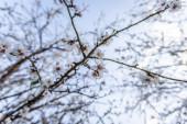 Krásný výhled na mandlový květ na jaře v přírodě. Záběr ze širokého denního světla.