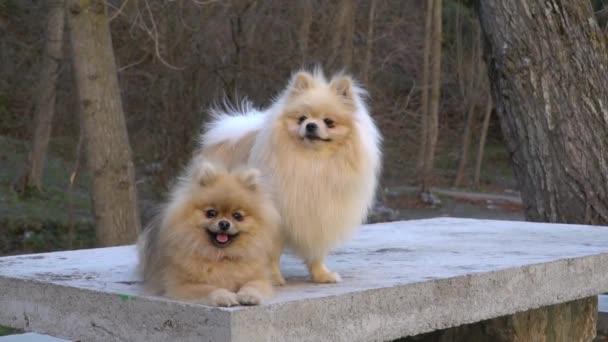 Dva štěňátka z Pomeranian Spitz sedí na kameni, jemně otáčejí hlavami a usmívají se. Roztomilý Pomeranský pes. Lízání štěňat
