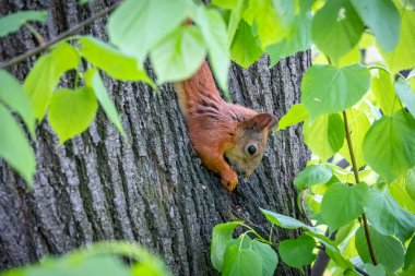 Squirrel eats a nut while sitting upside down on a tree trunk. The squirrel hangs upside down on a tree against colorful blurred background. Close-up. Eurasian red squirrel, Sciurus vulgaris