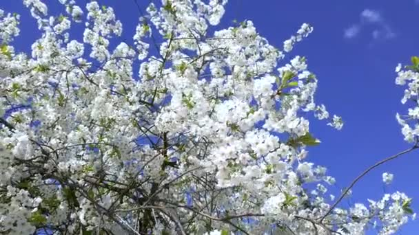 The white sakura tree fluttering in the wind against the blue sky. The flowers with vibrant natural colors are blooming in the garden on beautiful background