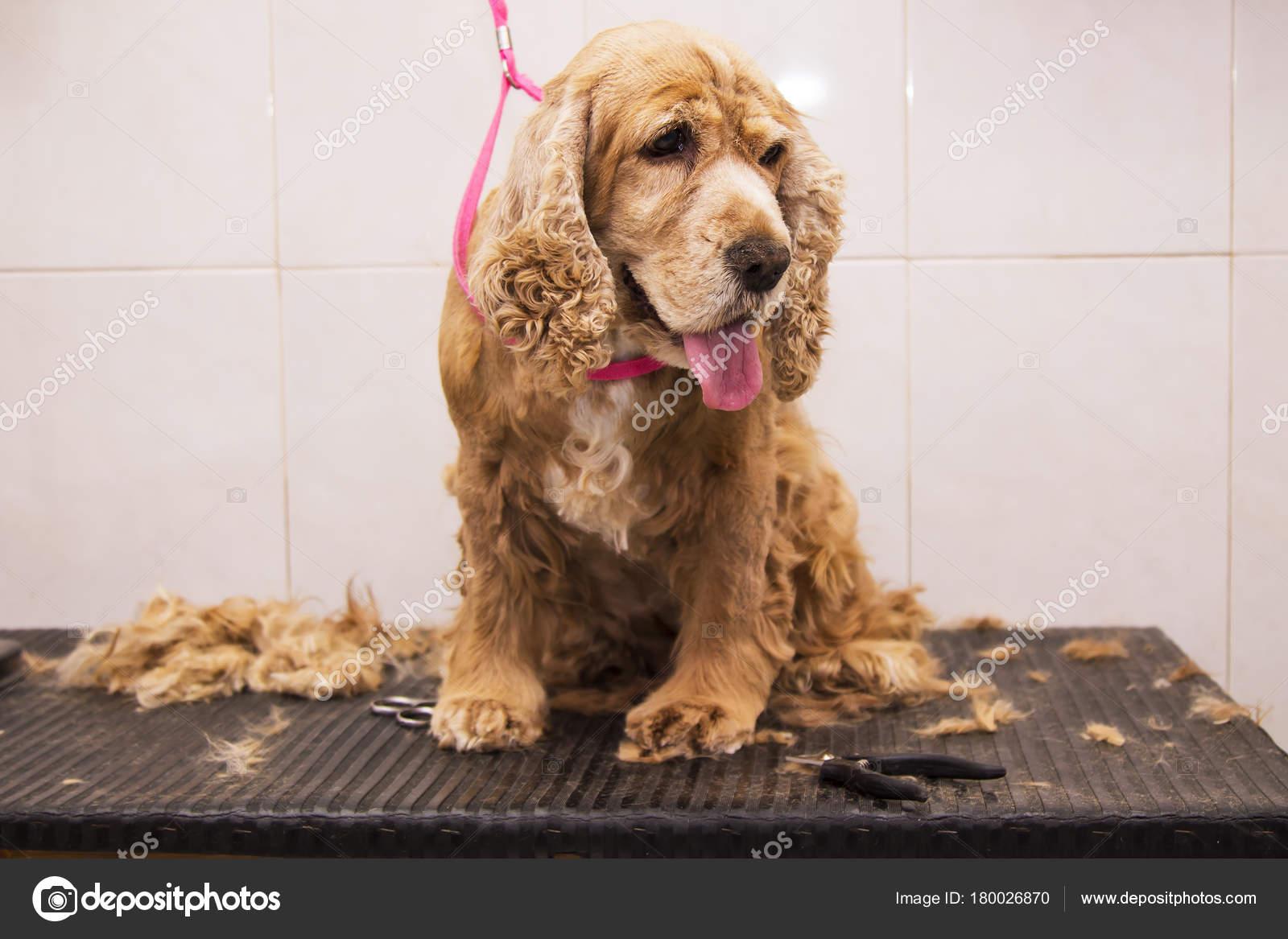 Portrat Von Cocker Spaniel Hund Beim Hund Friseur Stockfoto