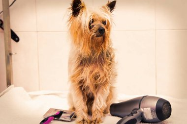 dog at the dog hairdresser, cutting and drying the hair