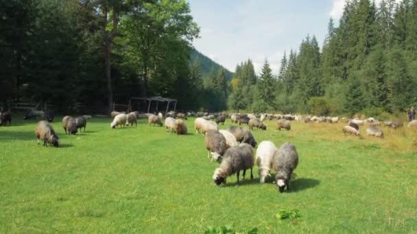 Schafgruppe auf der Weide