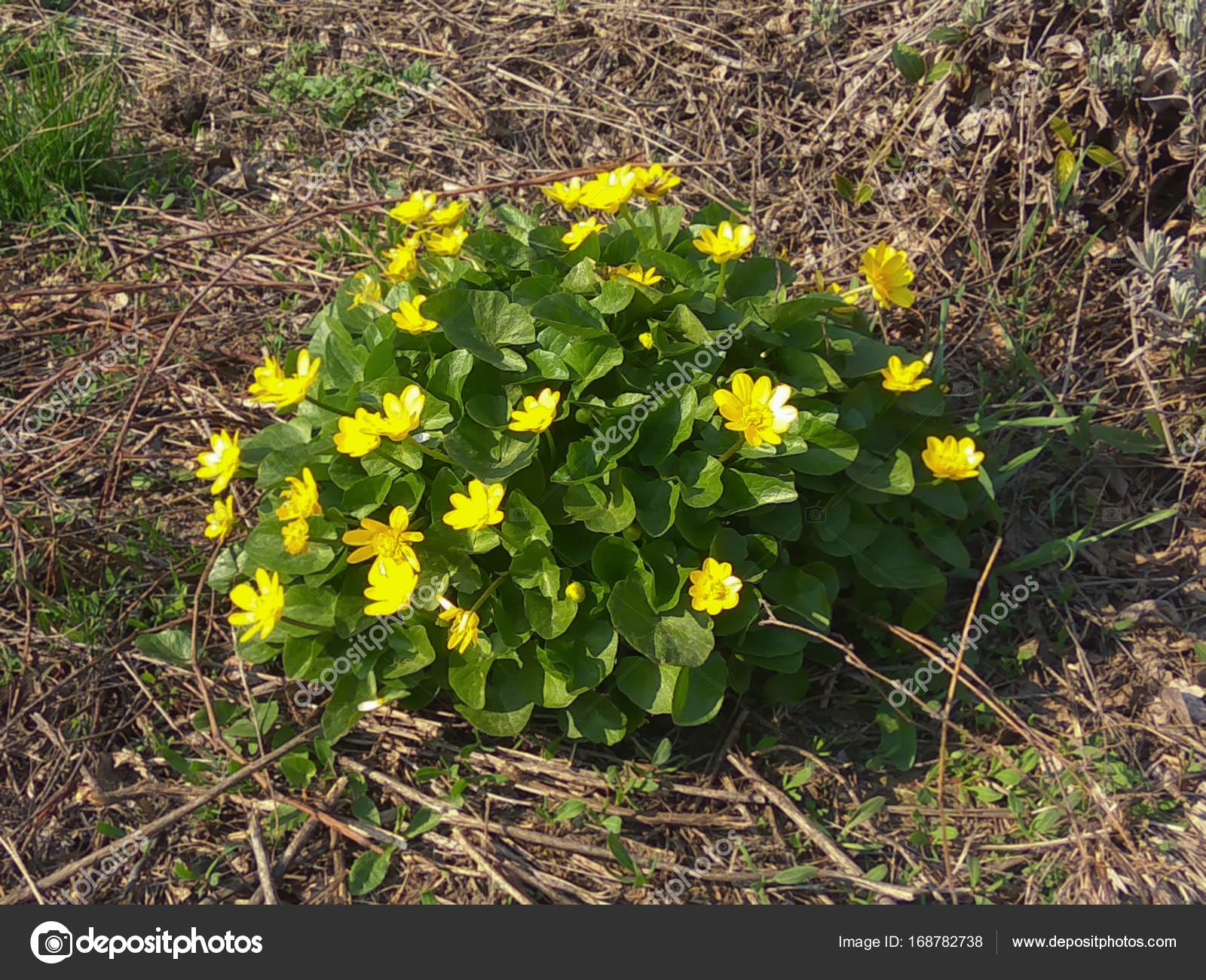 Wild Yellow Flower On Glade Stock Photo Biruzza 168782738