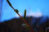 Beautiful pussy willow flowers branches close up. Soft floral spring frame