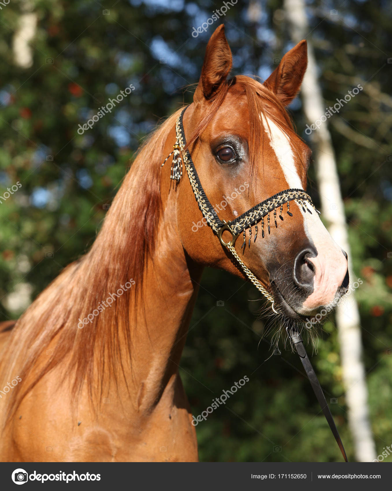 Amazing Arabian Horse With Beautiful Halter Stock Photo C Zuzule 171152650