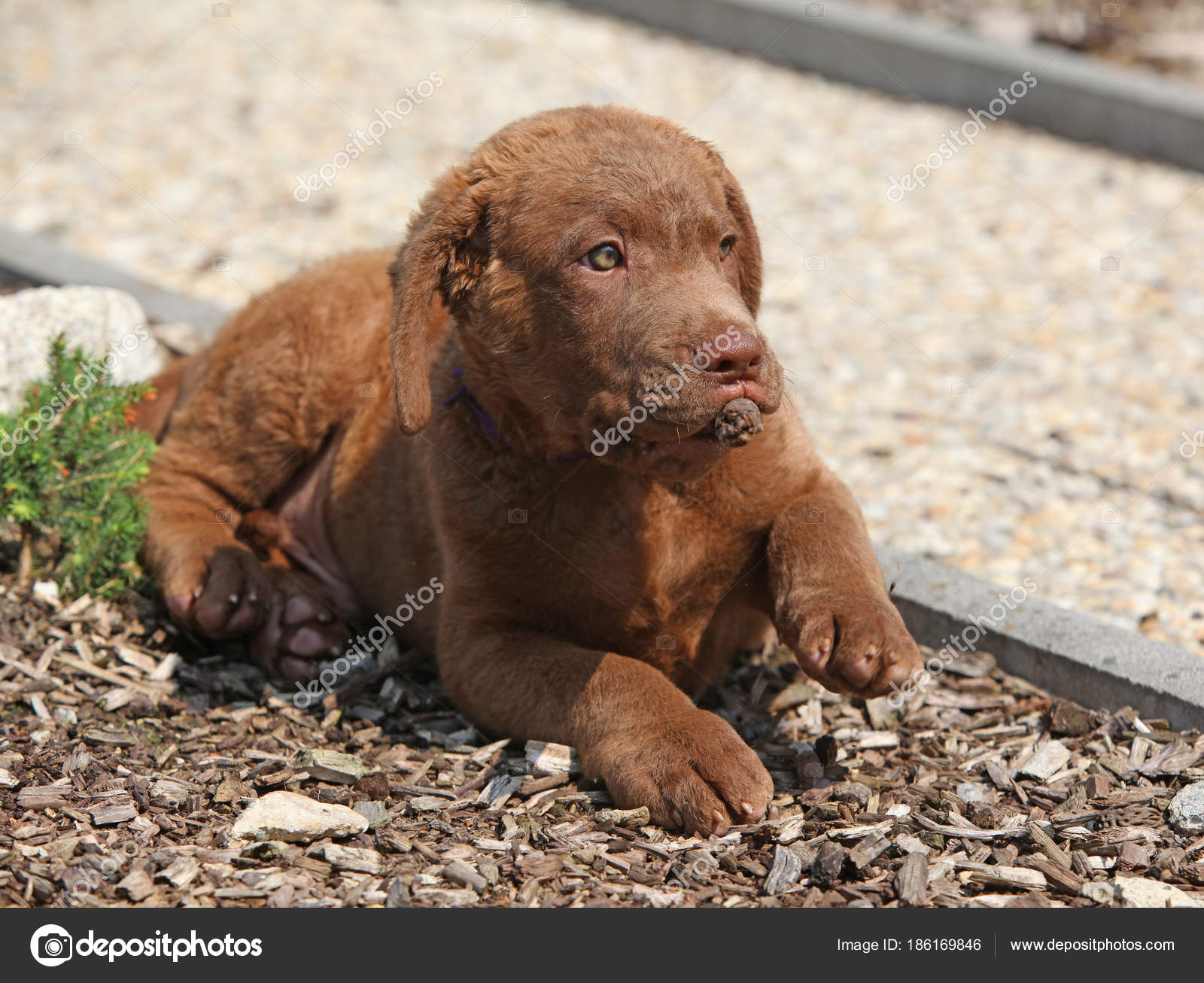 Nice chesapeake bay retriever puppy lying — Stock Photo © Zuzule ... 65c104df15