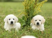 Two beautiful golden retriever puppies