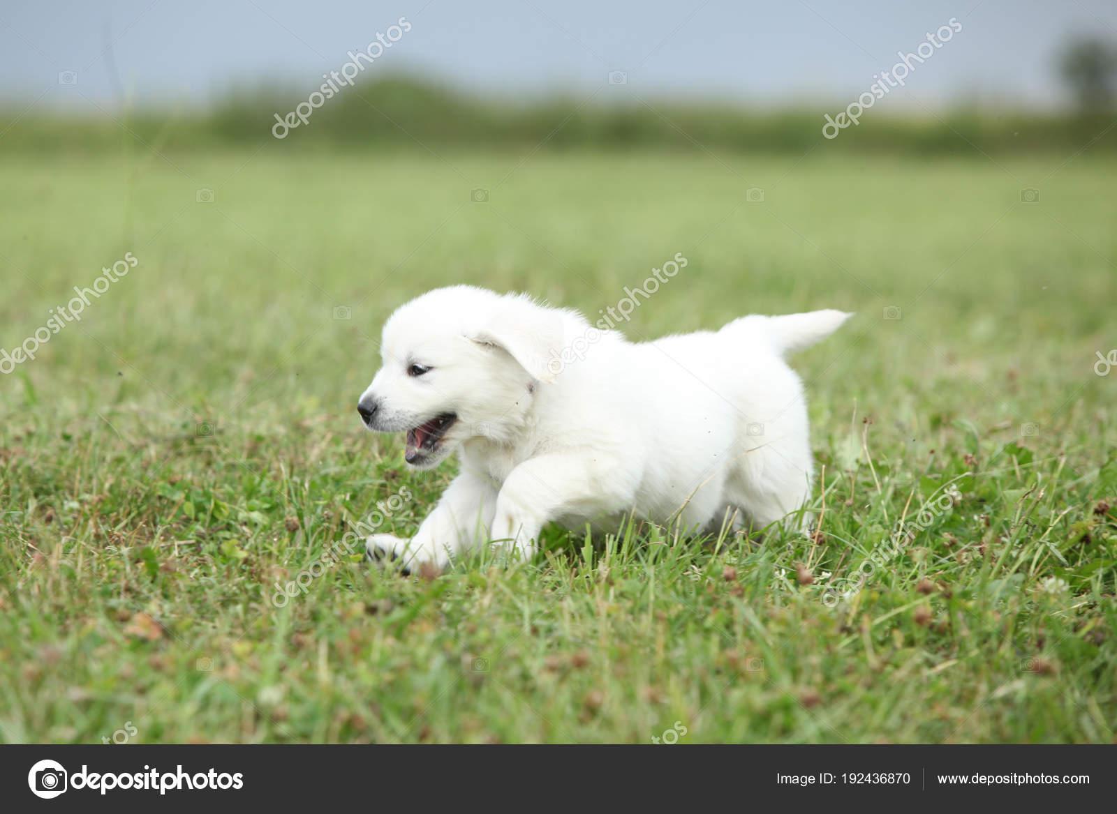 Golden Retriever Puppy Running Stock Photo C Zuzule 192436870
