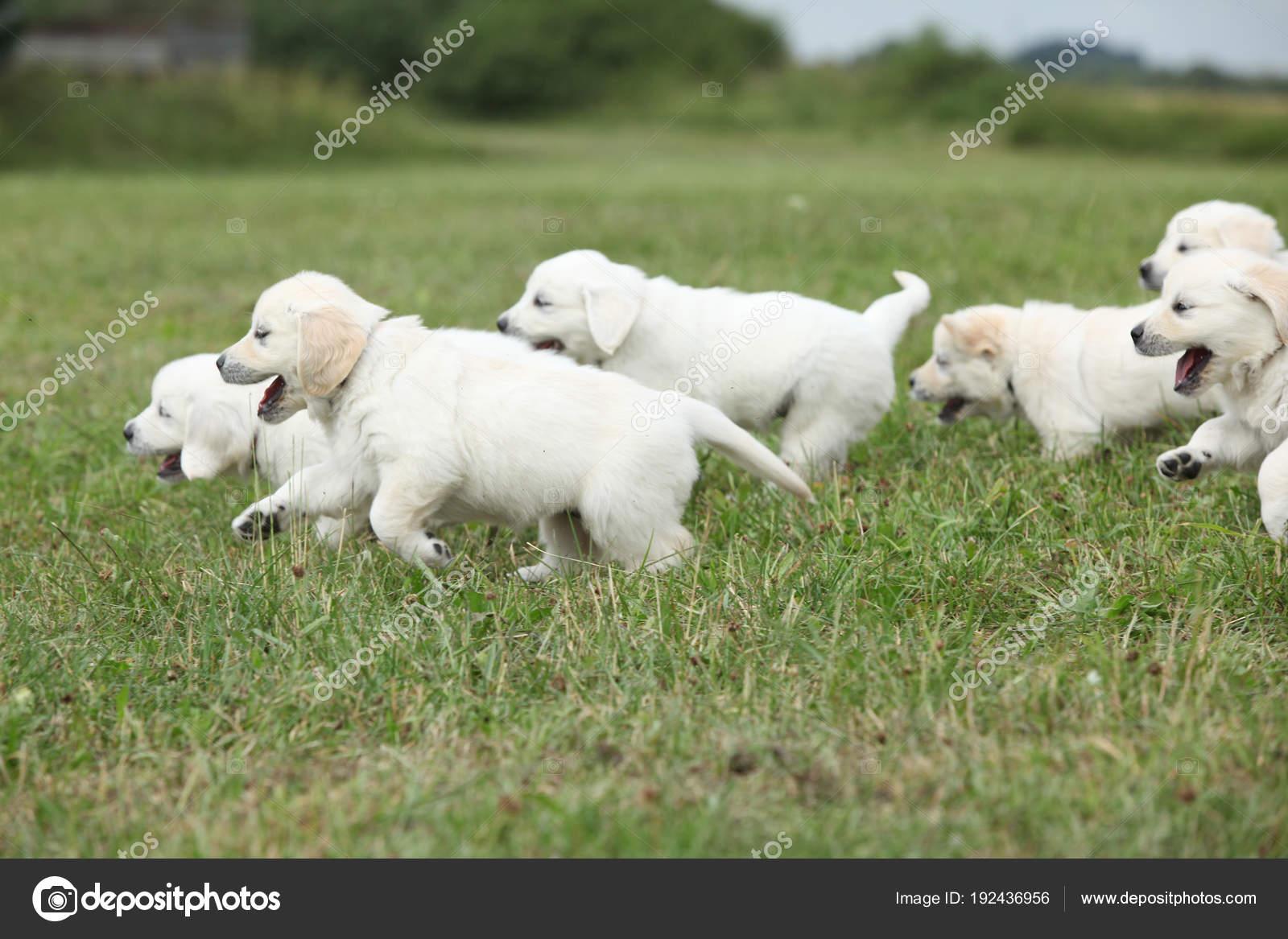 Beautiful Group Of Golden Retriever Puppies Running Stock Photo