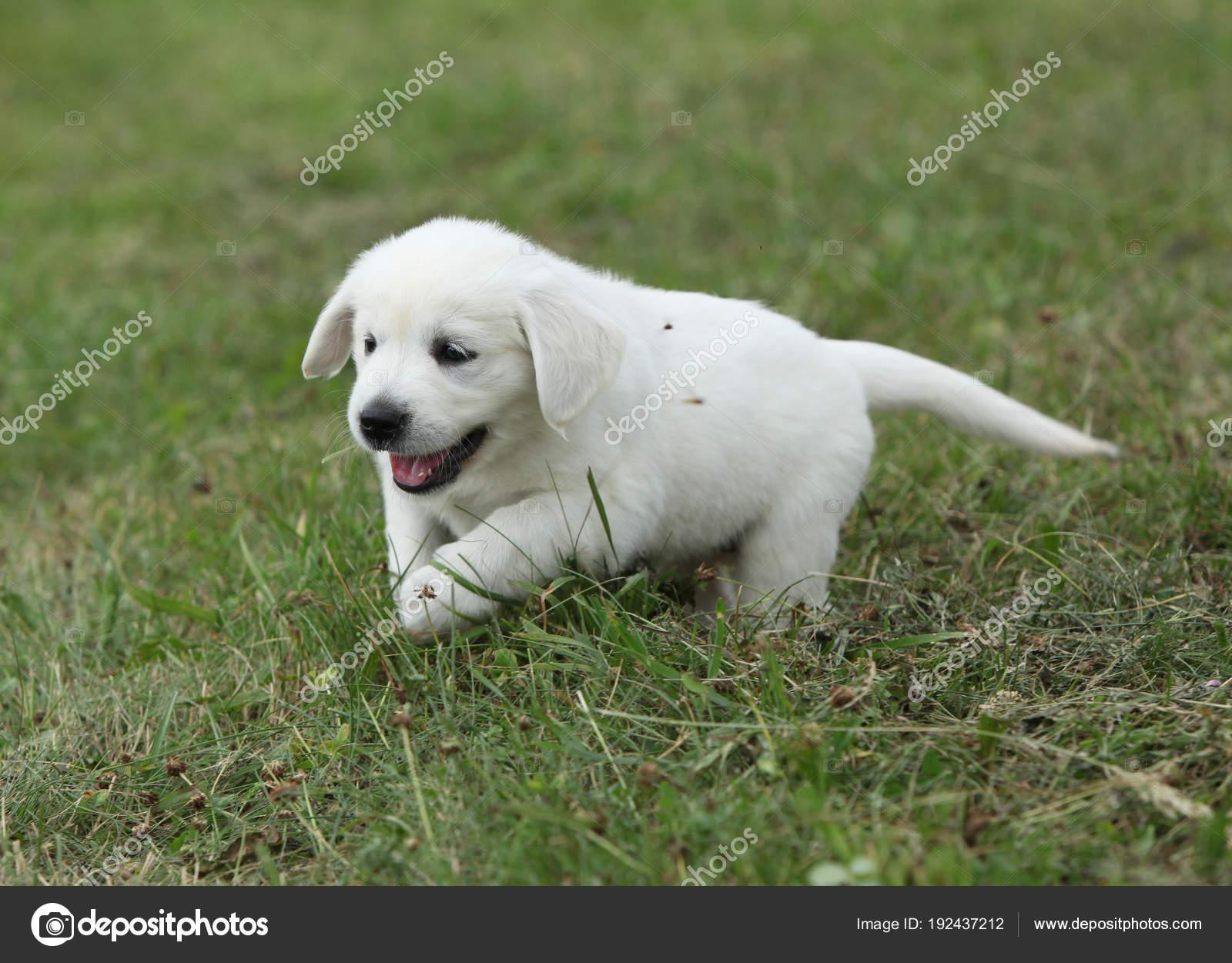 Golden Retriever Puppy Running Stock Photo C Zuzule 192437212