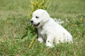 Nice golden retriever puppy