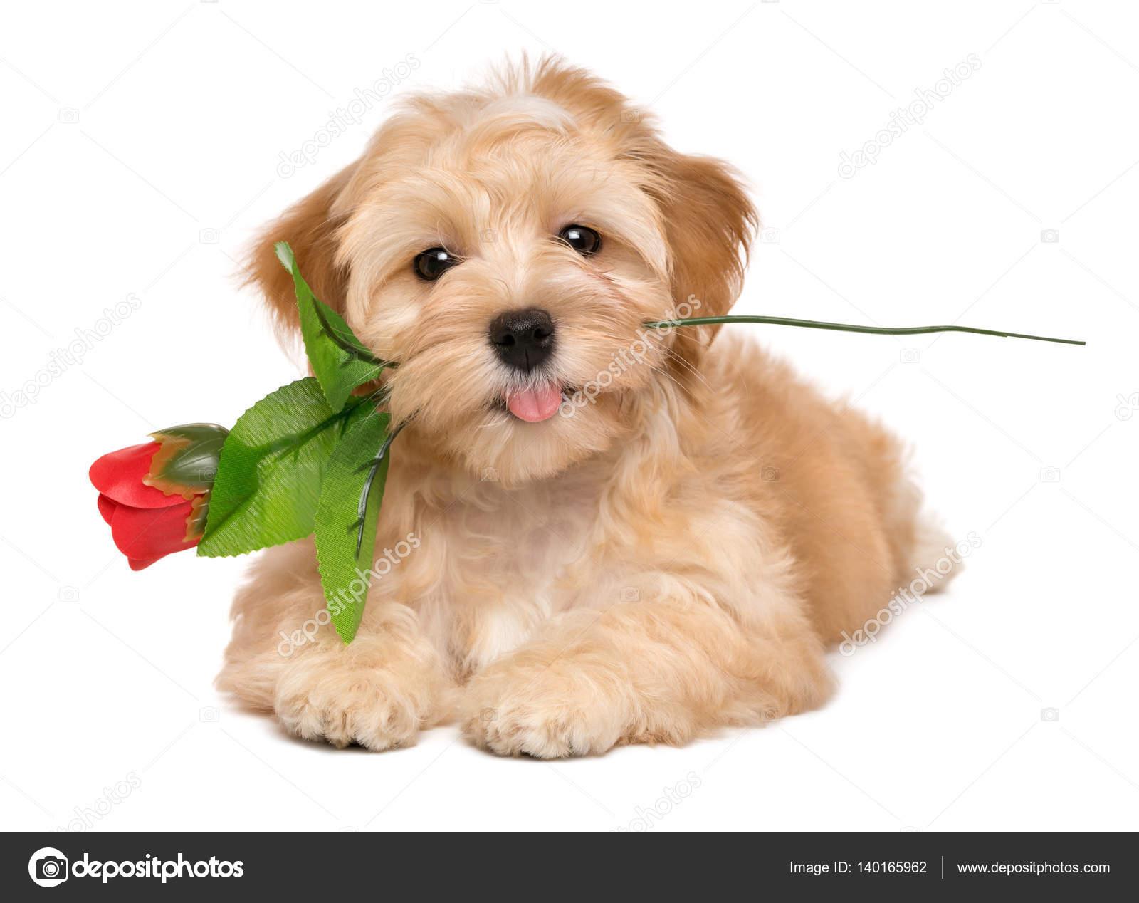 gelukkig minnaar havanezer pup hond liggen met een