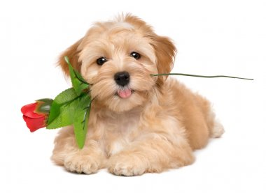 Happy lover havanese puppy dog lying with an artificial red rose