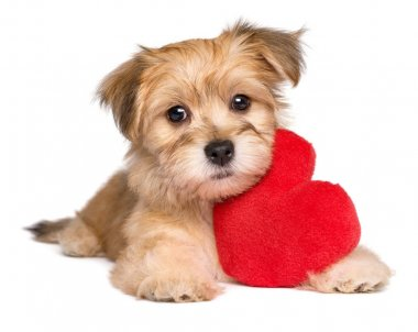 Lover Valentine Havanese puppy lying with a red heart