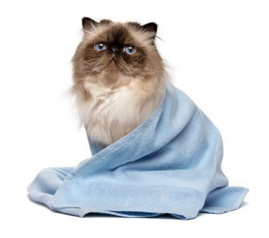 Cute groomed persian seal colourpoint cat with a blue towel