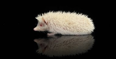 An adorable African white- bellied hedgehog standing on black background