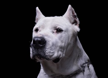 Portrait of an adorable Dogo Argentino looking curiously