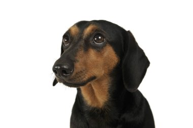 Portrait of an adorable Dachshund looking up curiously