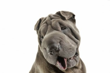 Portrait of an adorable Shar pei looking curiously at the camera