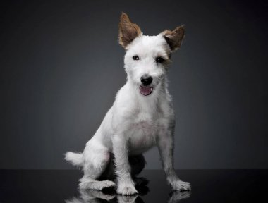 Studio shot of an adorable terrier puppy sitting and looking curiously at the camera - isolated on grey background
