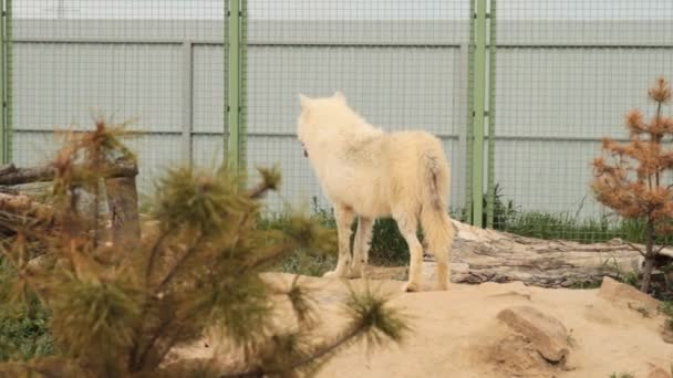 The Arctic wolf Canis lupus arctos , also known as the Melville Island wolf, looking back.