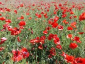 The huge field of red poppies flowers. Sun and clouds. View many of poppies and close-up
