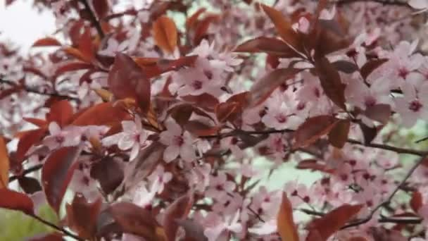 Jarní pozadí. Kvetoucí strom na jaře. Květiny pozadí. Třešňové stromy kvetou. Kvetoucí třešeň květiny. Třešňový květ na jaře. Bílé květy kvetoucí. Třešňové stromy kvetou na jaře