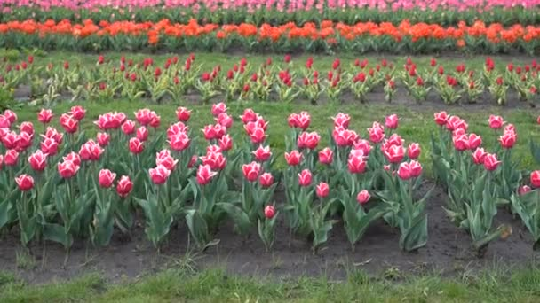Plantation of blooming tulips. Beds with tulips on the field.
