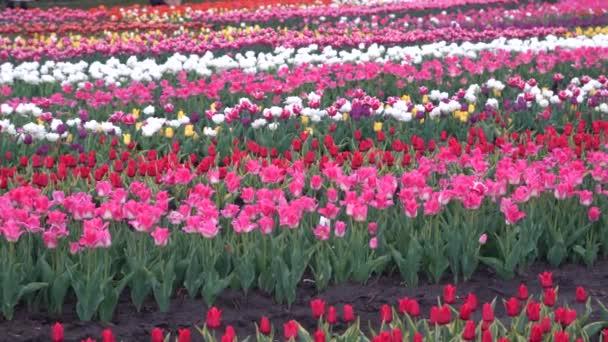 Virágzó tulipánok ültetése. Ágyak tulipánnal a mezőn.