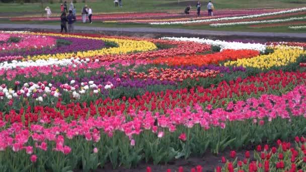 Pěstování kvetoucích tulipánů. Postele s tulipány na hřišti.