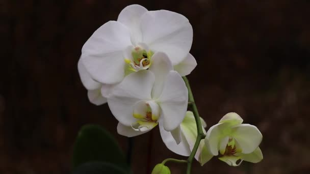 Blooming phalaenopsis orchid in the wind in a park close-up
