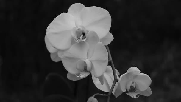 blühende Phalaenopsis-Orchidee im Wind in einem Park in Großaufnahme