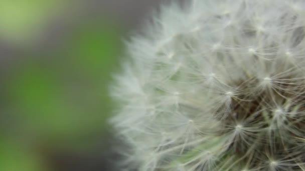 pampeliška ve větru na jaře makro foto