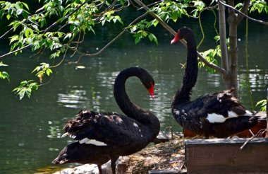 Two beautiful black swans on the pond