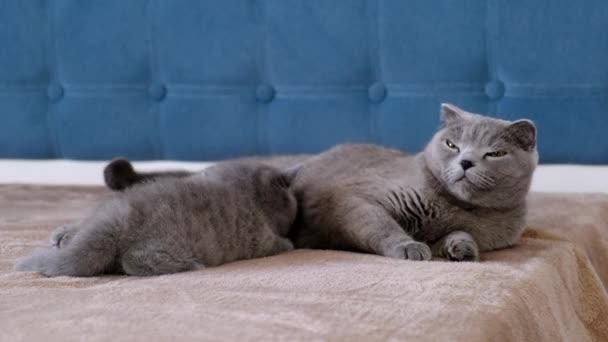 Britishcat füttert ein kleines, flauschiges graues Kätzchen auf dem Sofa.
