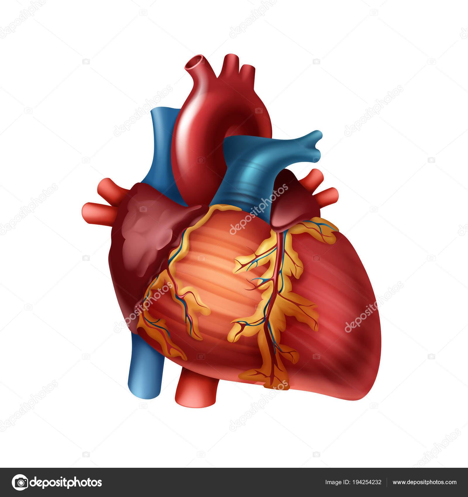 Anatomía del corazón humano — Archivo Imágenes Vectoriales © Zonda ...