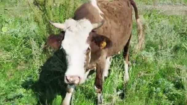 kráva mává ušima a zvědavě se dívá do kamery. lítá tu spousta much, horký letní den na pastvinách