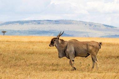 common eland, eland antilope ( Taurotragus oryx) bull on the savannah of the Masai Mara National Park in Kenya