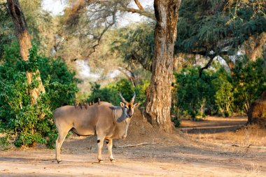 Common eland bull with red-billed oxpecker in Mana Pools National Park in Zimbabwe
