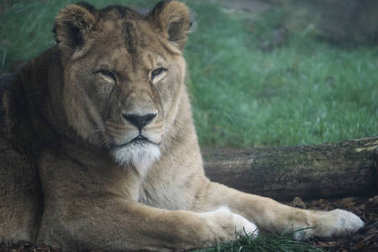 Lioness resting outside her enclosure on a cold and foggy day
