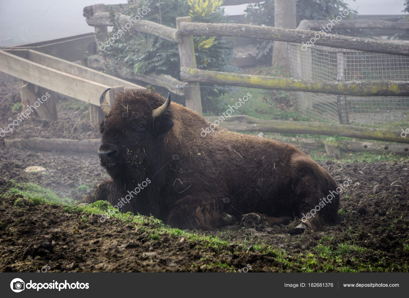 Bison Resting On A Cold And Foggy Morning At The Herberstein Zoo