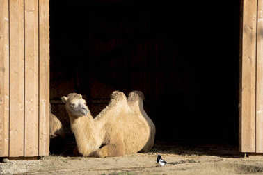 Camel sitting in the barn door and watching a black bird