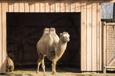 Camel leaving the barn to get some exercise