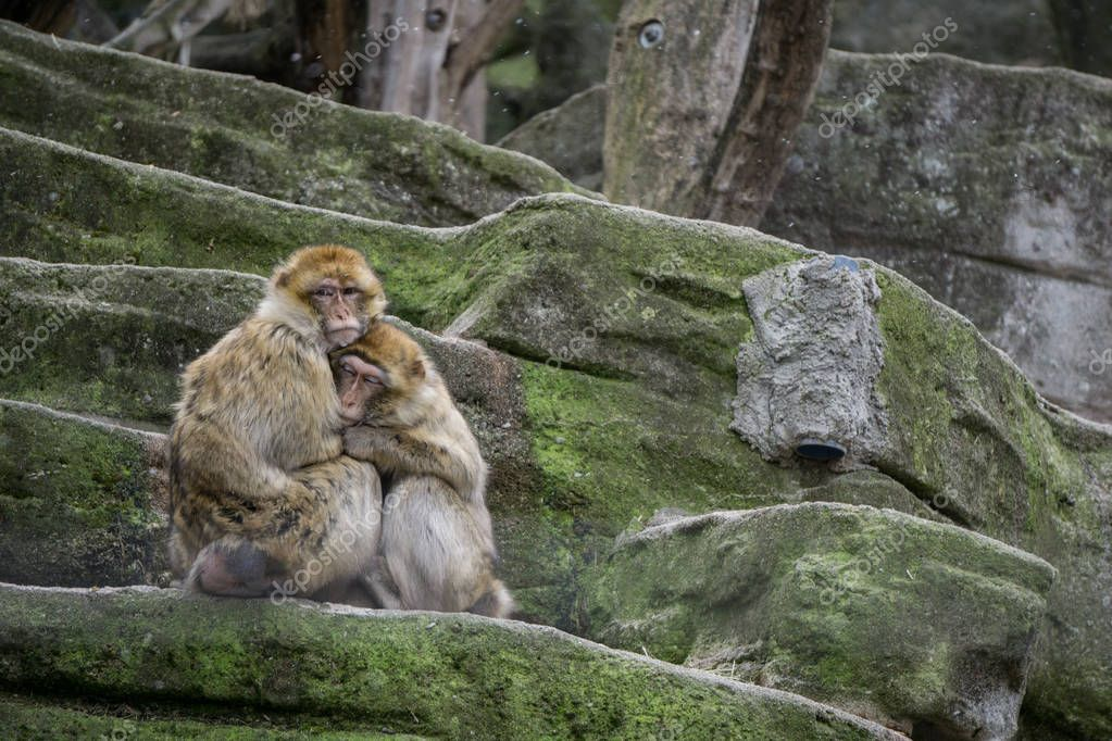 Two macaques keeping each other warm at the zoo