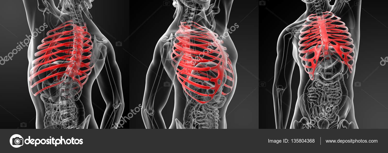 Ilustración 3D de representación de la caja torácica — Fotos de ...
